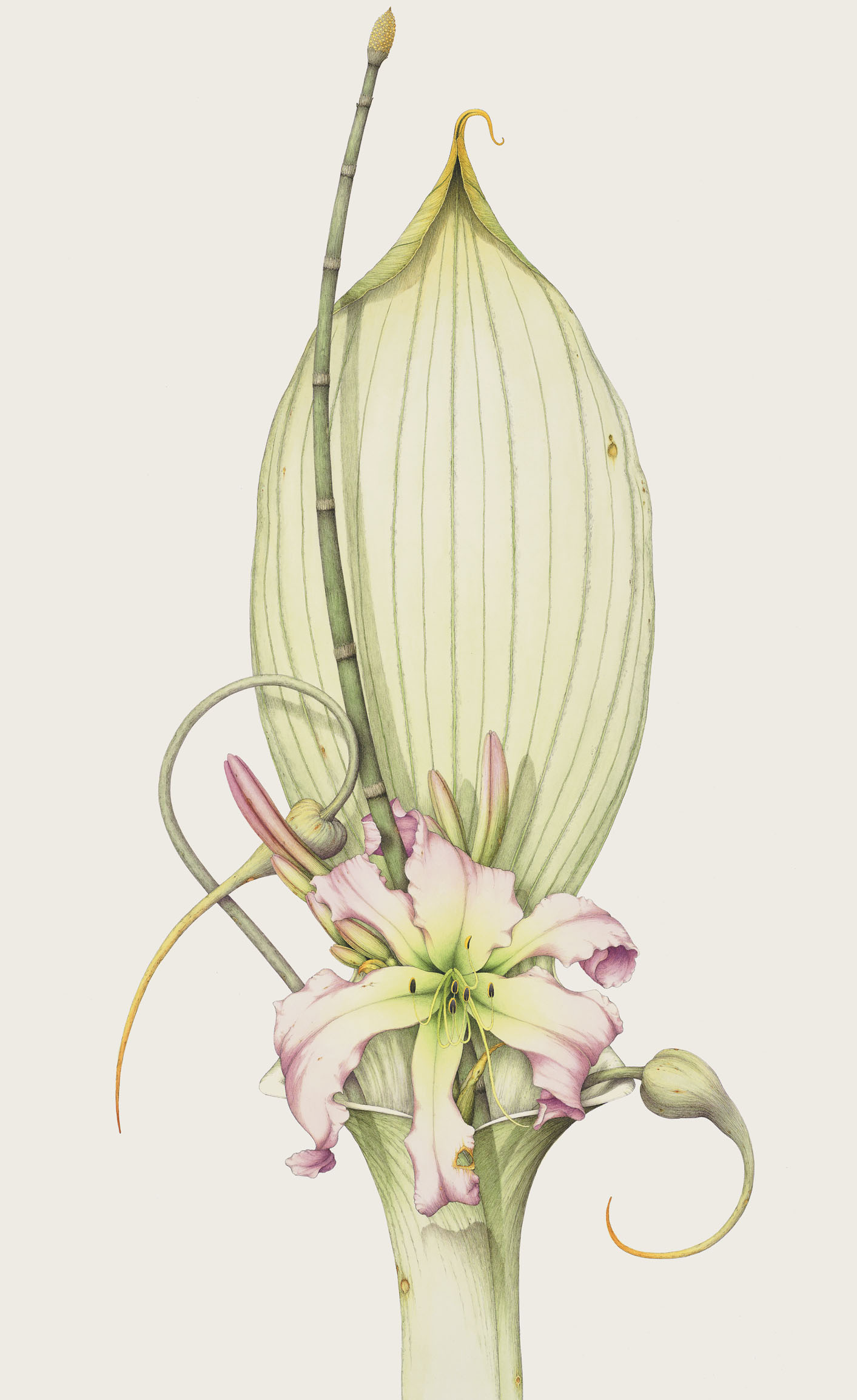 Spider-Day-Lily