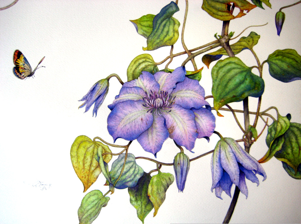 Clematis & Butterfly. Pen, ink, and watercolor. © Randy Hinz.