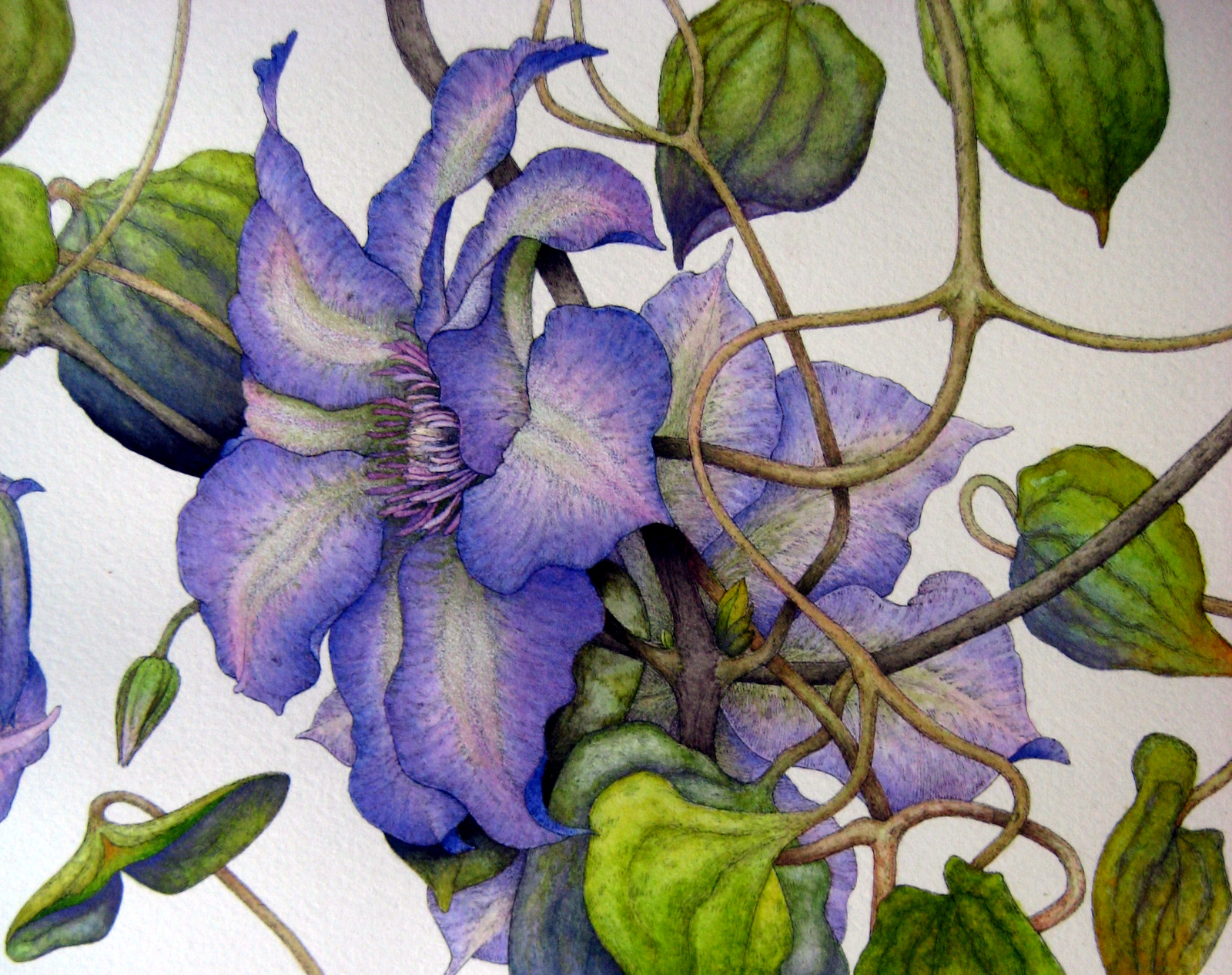 Clematis & Butterfly (detail). Pen, ink, and watercolor. © Randy Hinz.